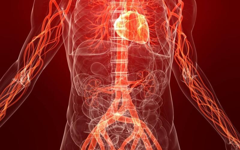 Кровообращение: строение кровеносной сети