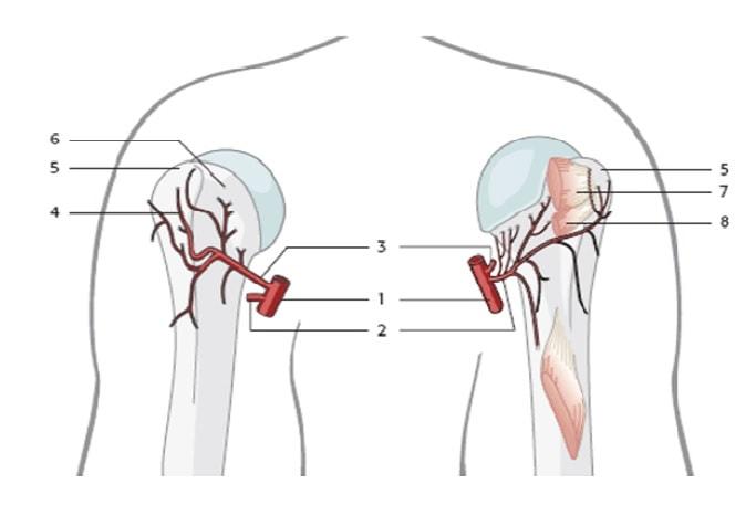 Кровоснабжение головки плечевой кости: 1. A. axillaris. 2. A. circumflexa humeri posterior. 3. A. circumflexa humeri anterior. 4. Боковая восходящая ветвь A. circumflexa humeri anterior. 5. Большой бугорок. 6. Малый бугорок. 7. Точка прикрепления сухожилия подостной мышцы. 8. Точка прикрепления сухожилия малой круглой мышцы.