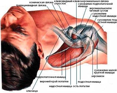 Мышцы, образующие вращательную манжету плеча