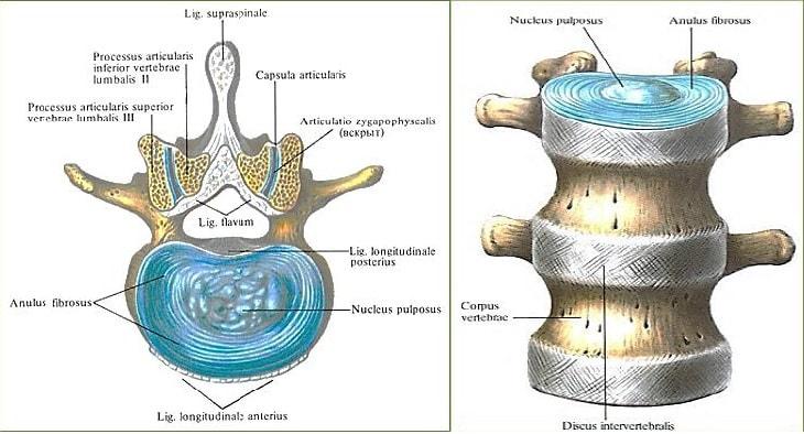 Анатомия позвоночника с межпозвоночным диском