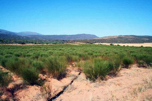 плантация ройбуша