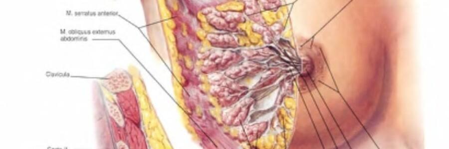 иллюстрация из атласа анатомии человека Ф.Неттера